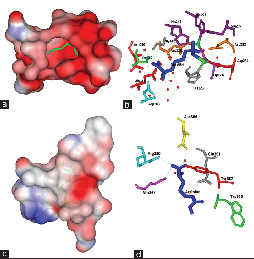 Active site analysis of arginase enzyme and nitric oxide synthase