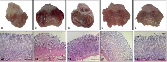 Figure 1: Macroscopic appearance and histological analysis of the rat´s stomachs