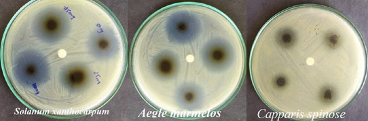 Plate 1: Antibacterial Activity of Selected medicinal Plants against Staphylococcus cohnii